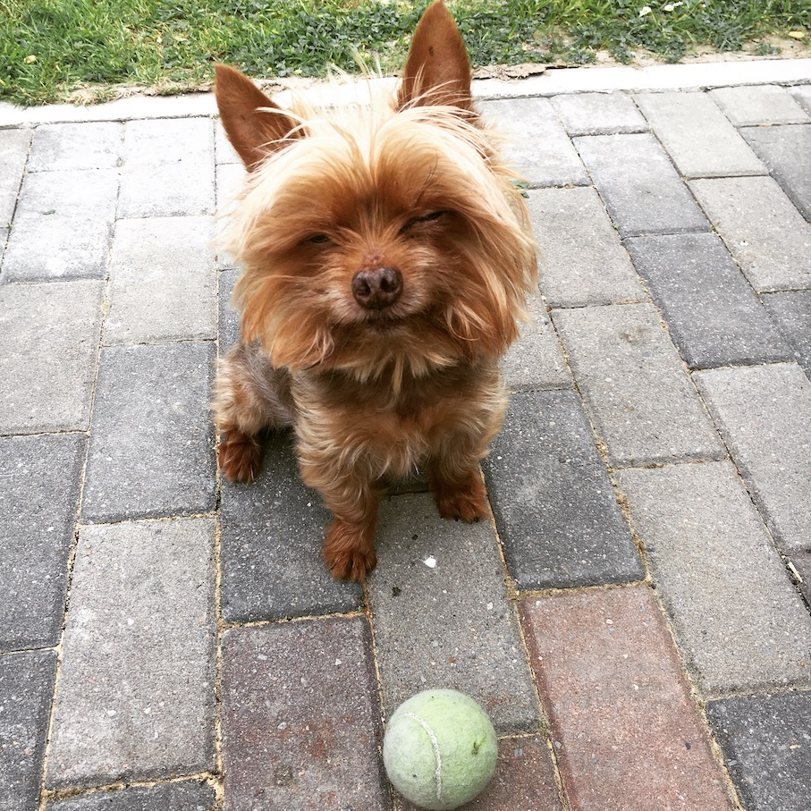 Cute, grinning Yorkshire Terrier sitting in front of a green tennis ball.