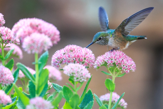 humming-bird-taking-nectar-from-blooming-flower