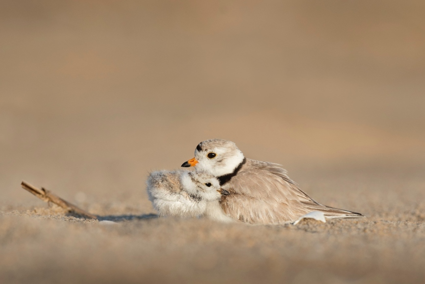 sand-piper-cuddling-baby-sand-piper