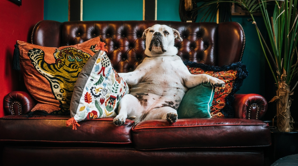 bull-dog-on-couch