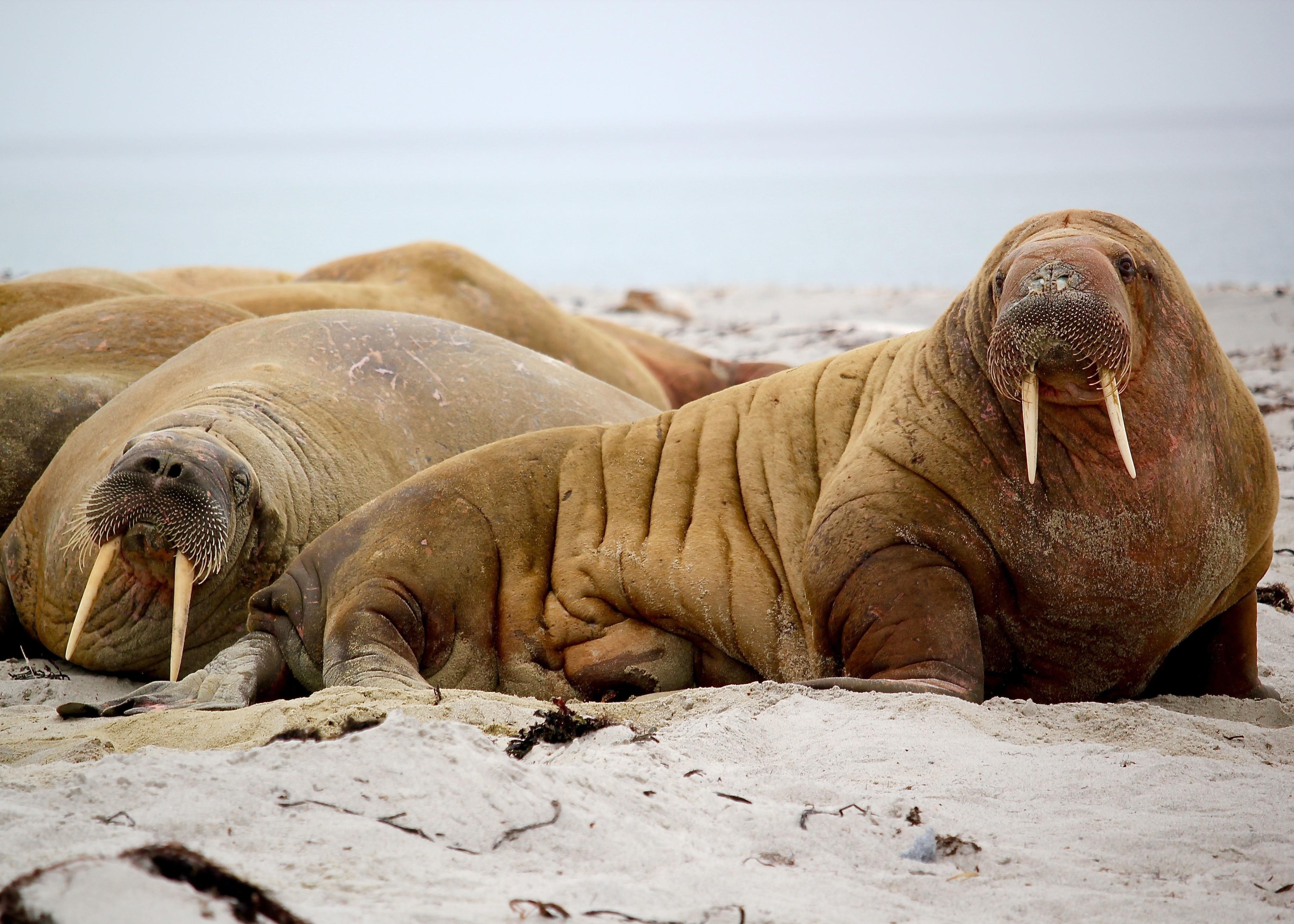 walrus-sleeping-on-beach