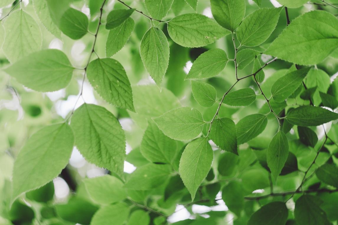 leaves-in-tree