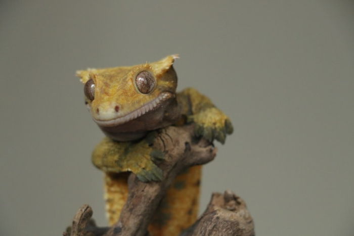 Gecko on a branch