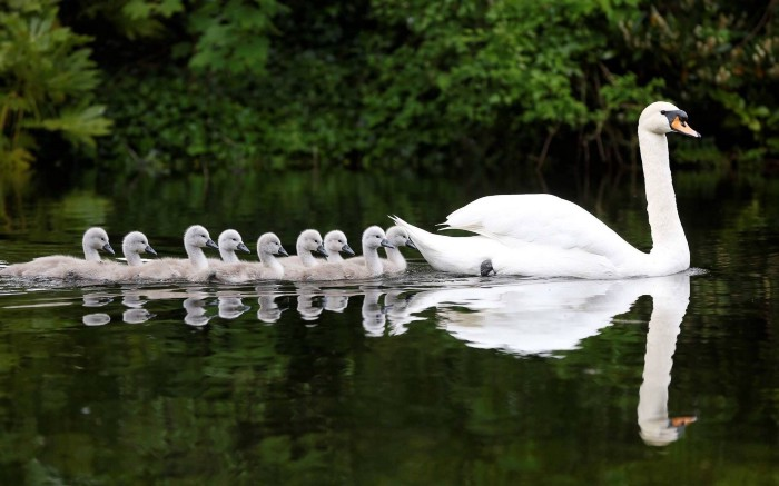 swan and baby swans